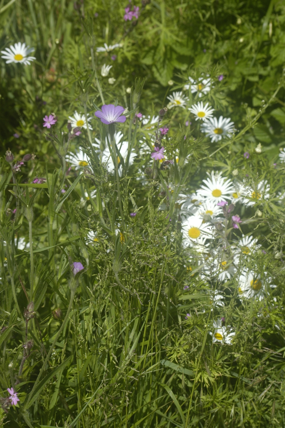 A selection of the stunning wildflowers planted in the village by WAGG.
