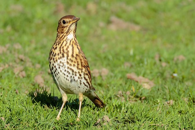 Song Thrush. Credit: Keith Milner