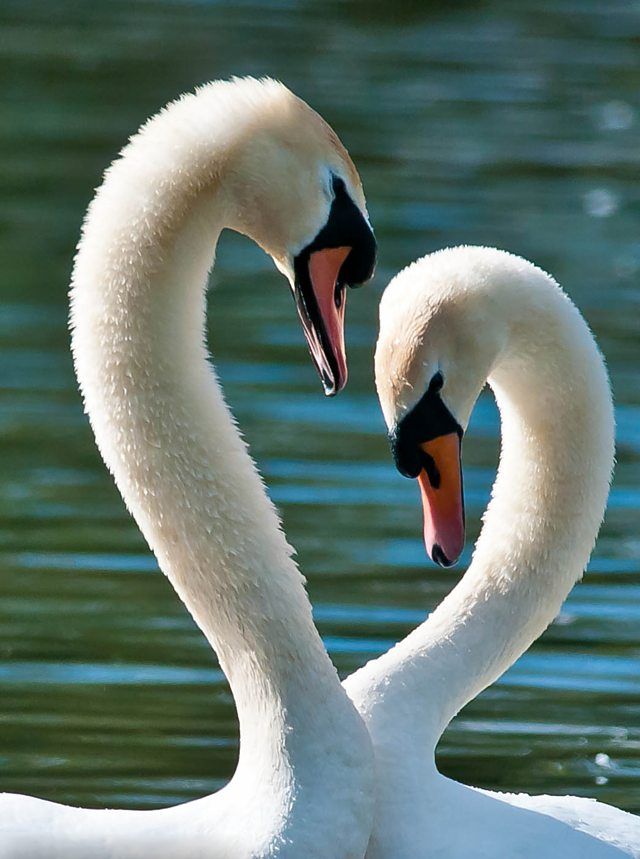 Mute Swans. Credit: Doug Price