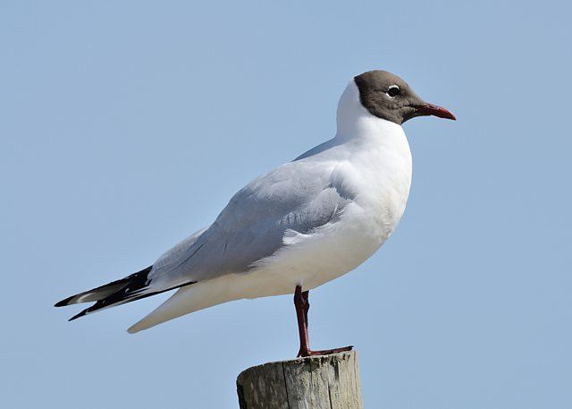 Black-headed Gull. Credit: Shane Jones