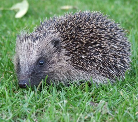 Hedgehog - taken from Hedgehog Street website