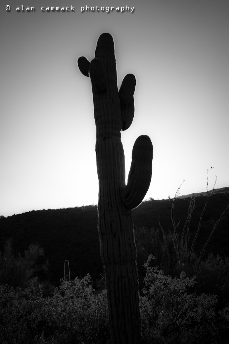 Arrangement of Saguaros # 2