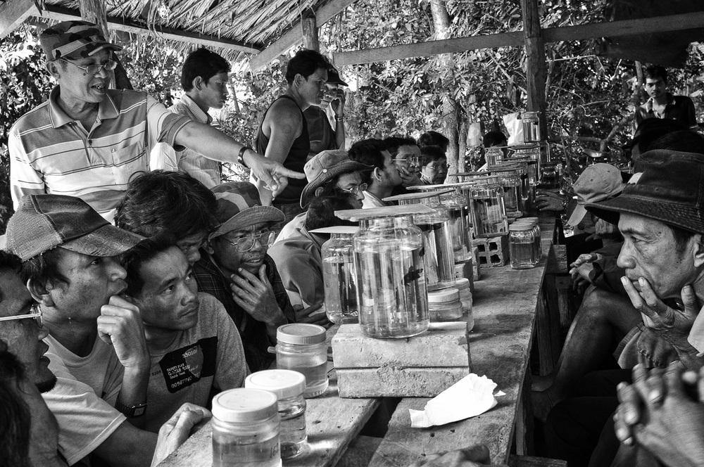 Betta fish fighting, Battambang Province, Cambodia, 2011