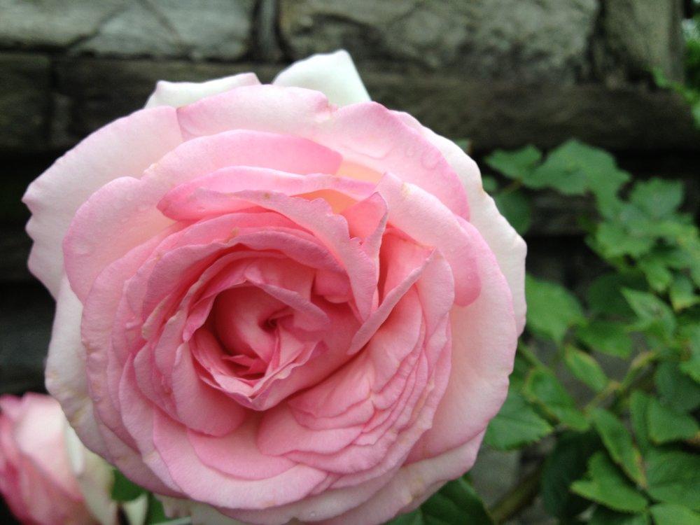 Rose Pink Large.JPG