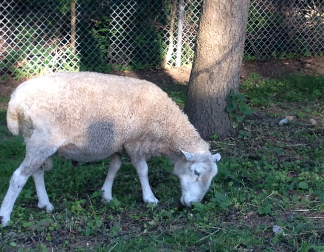 Riverdale_Farm_Sheep