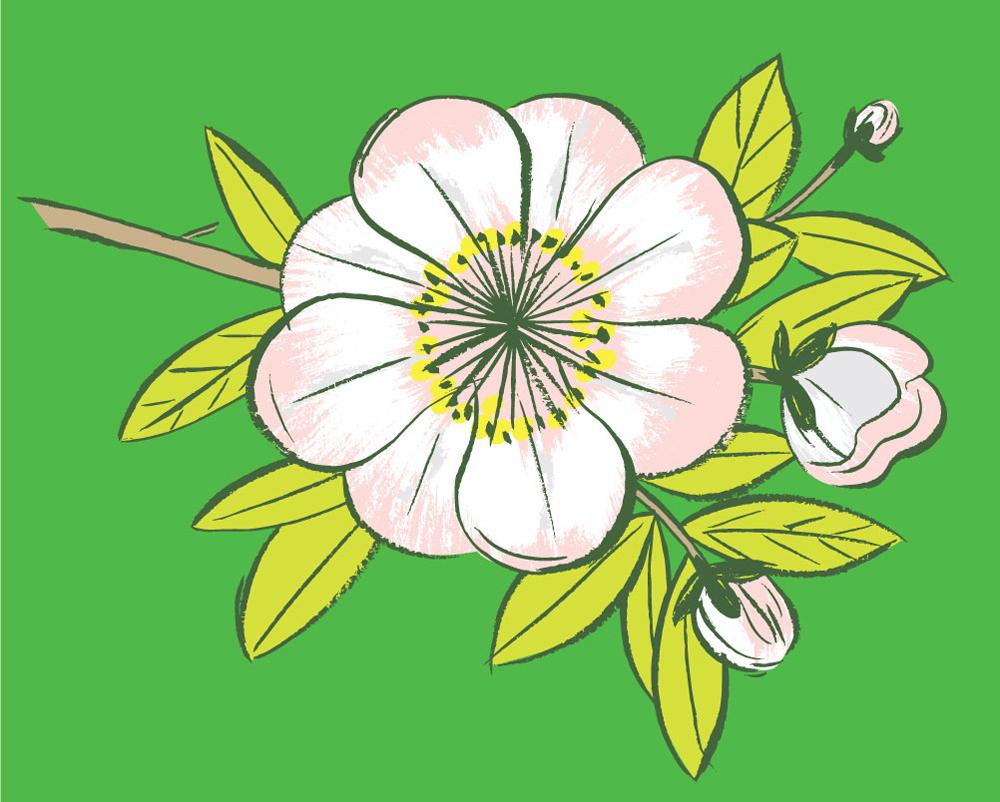 Cherry Blossom - KD484