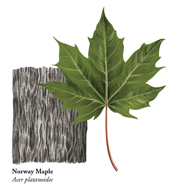 Norway Maple - JD367