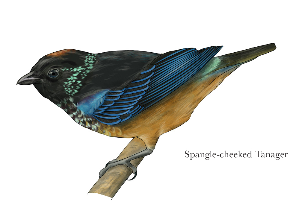 Spangle-cheeked Tanager - JD370
