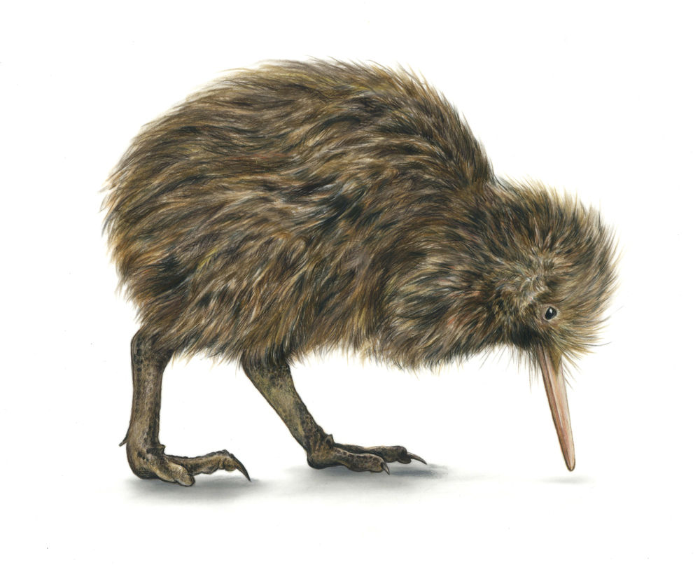 Brown Kiwi - JD373