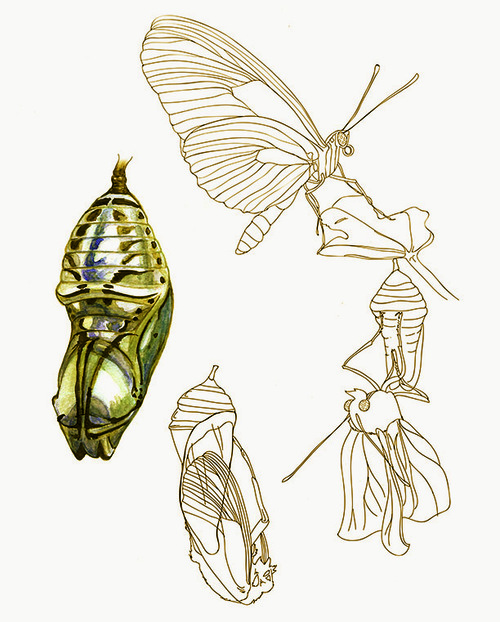 Orange-Spotted Tiger Clearwing Chrysalis - JD376