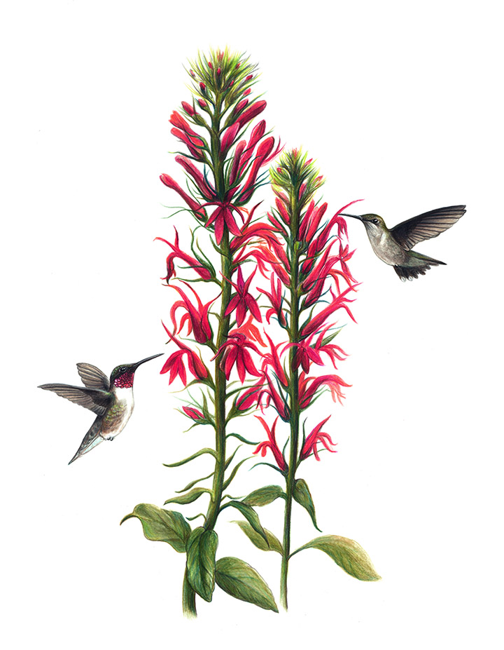 Ruby-Throated Hummingbirds - JD377