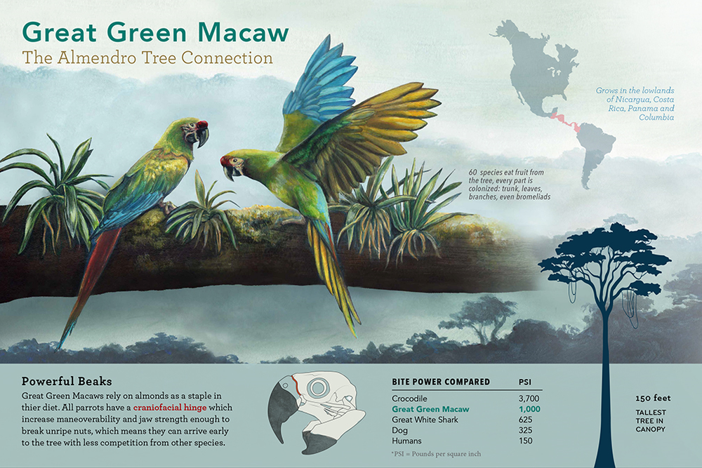 Great Green Macaw - JD361