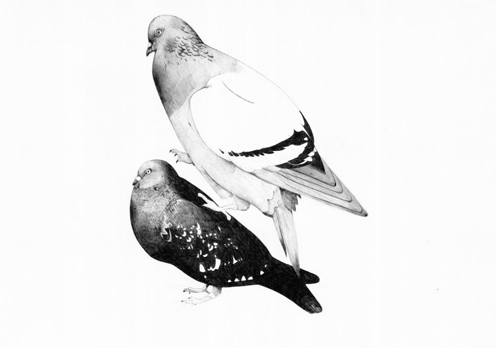 Pigeons - TB161