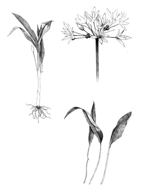 Wild Garlic - TB139