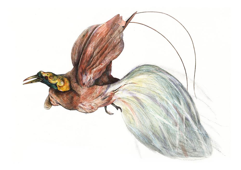 Bird of Paradise - TB107