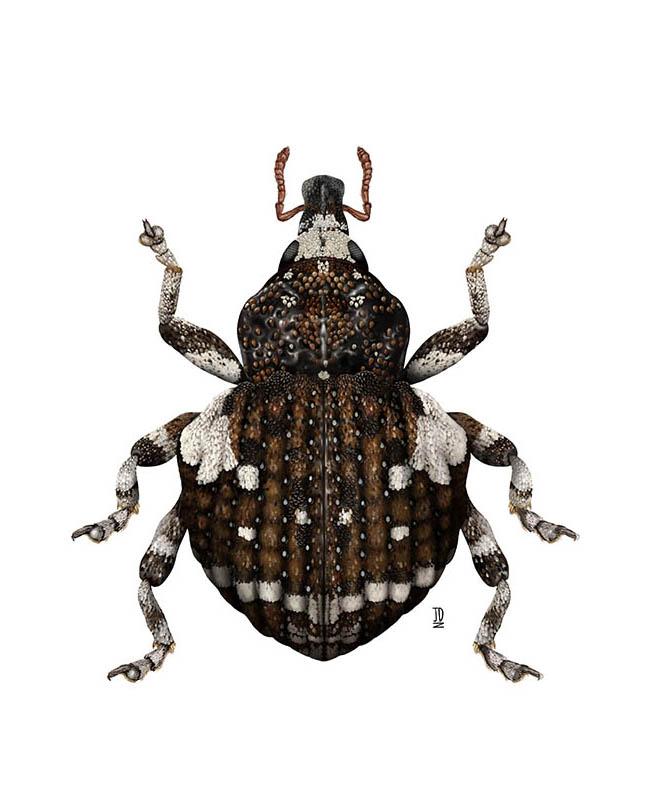 Gerstaeckeria Hubbardi (Insect) - JD392