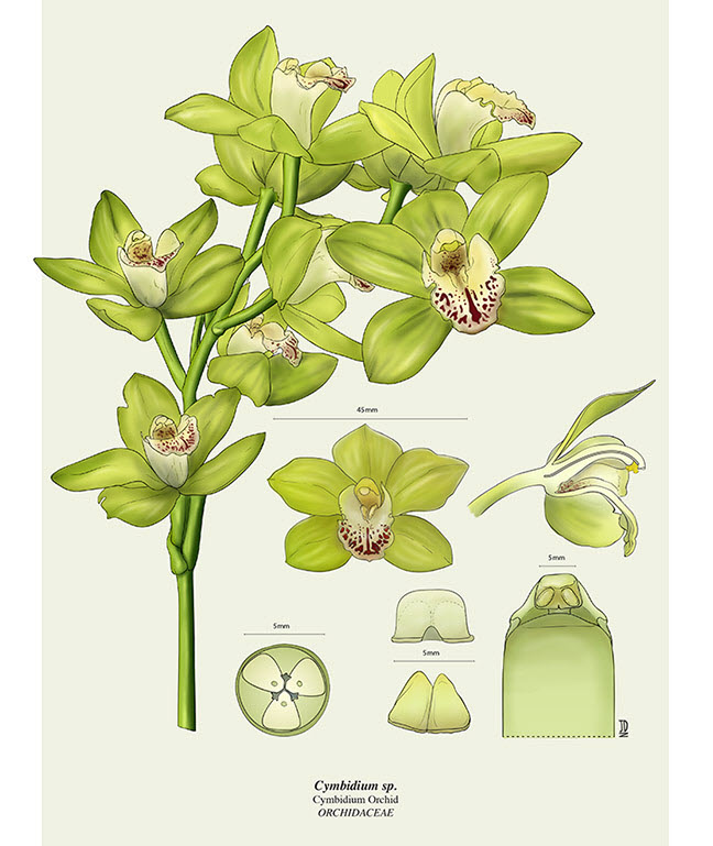 Orchid Dissection - JD403