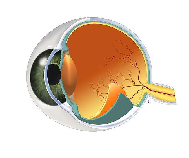 Eye Anatomy - JD406