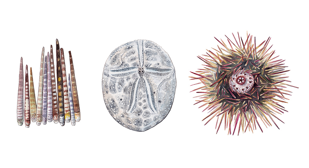 'Sea Urchins'. The Beachcomber's Companion interior illustration by Jillian Ditner.