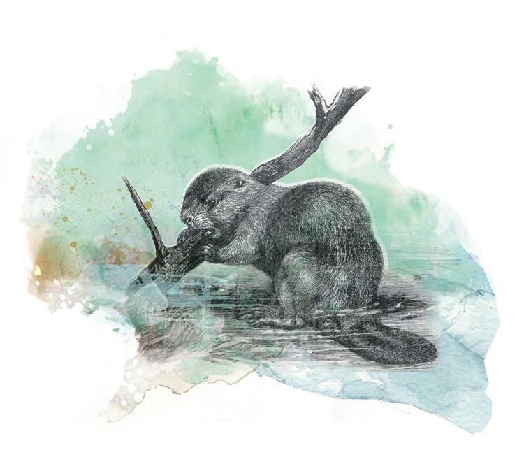 Beaver - JK319
