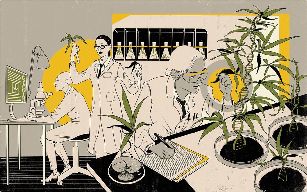 GMO Cannabis - RG204