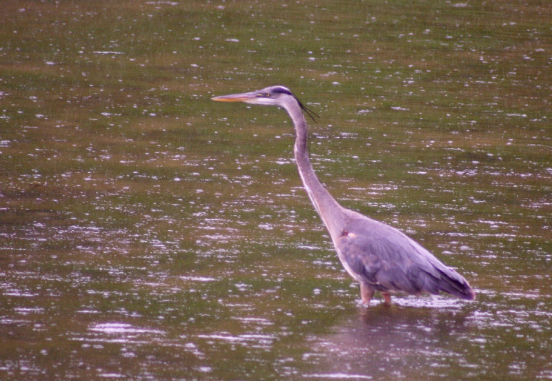 The Message Of The Blue Heron Being Breath