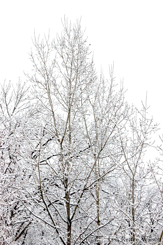 IMG_3513_SnowyTreeTops.jpg