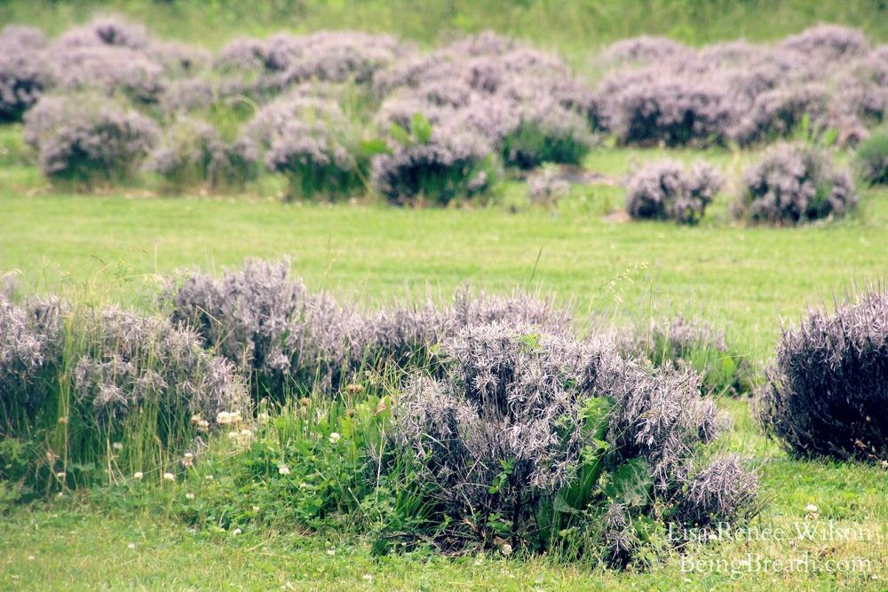 WTB_LavenderField_IMG_3988.jpg