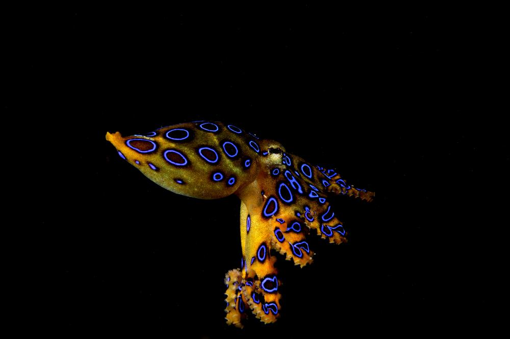 blue ringed octopus.jpg