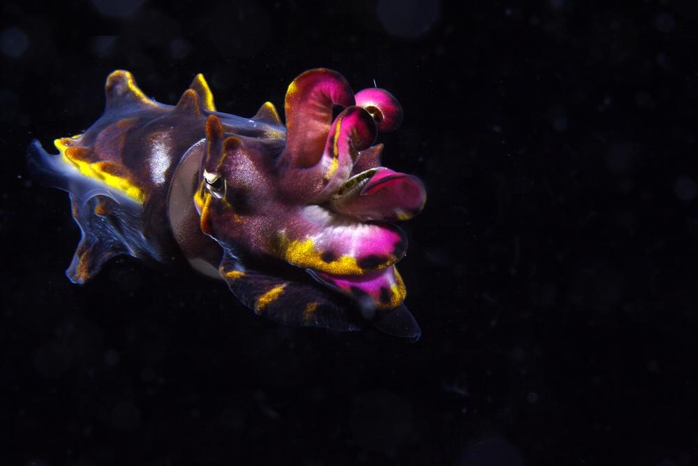 flamboyant cuttlefish.jpg
