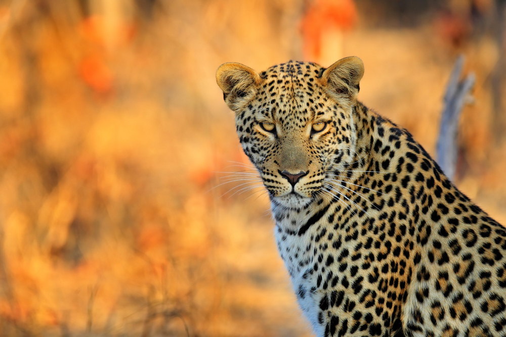 3 may HWANGE leopard.jpg