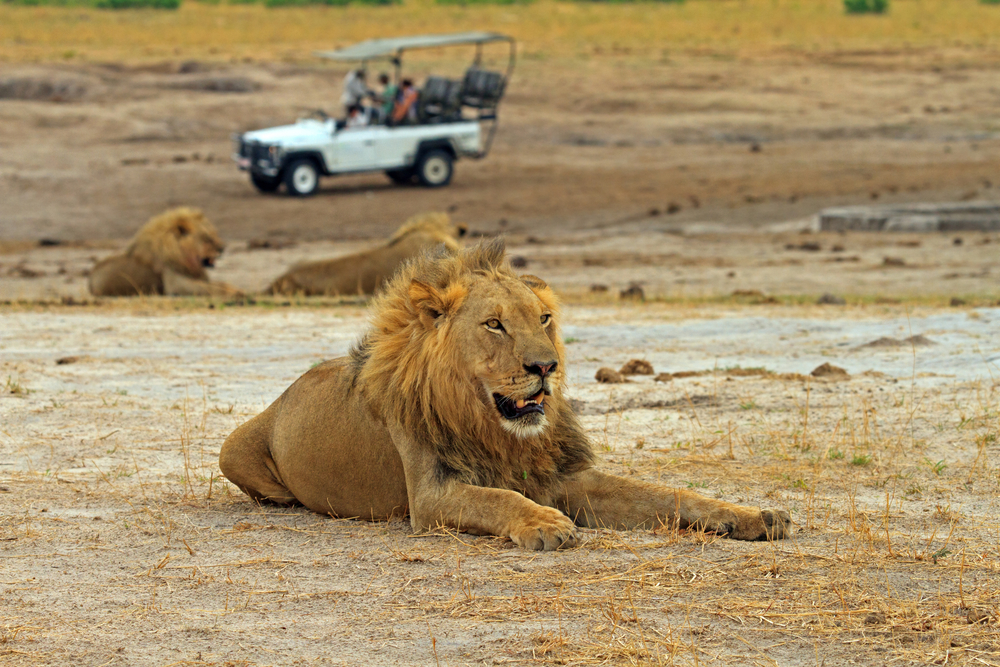 3 may HWANGE  lion.jpg