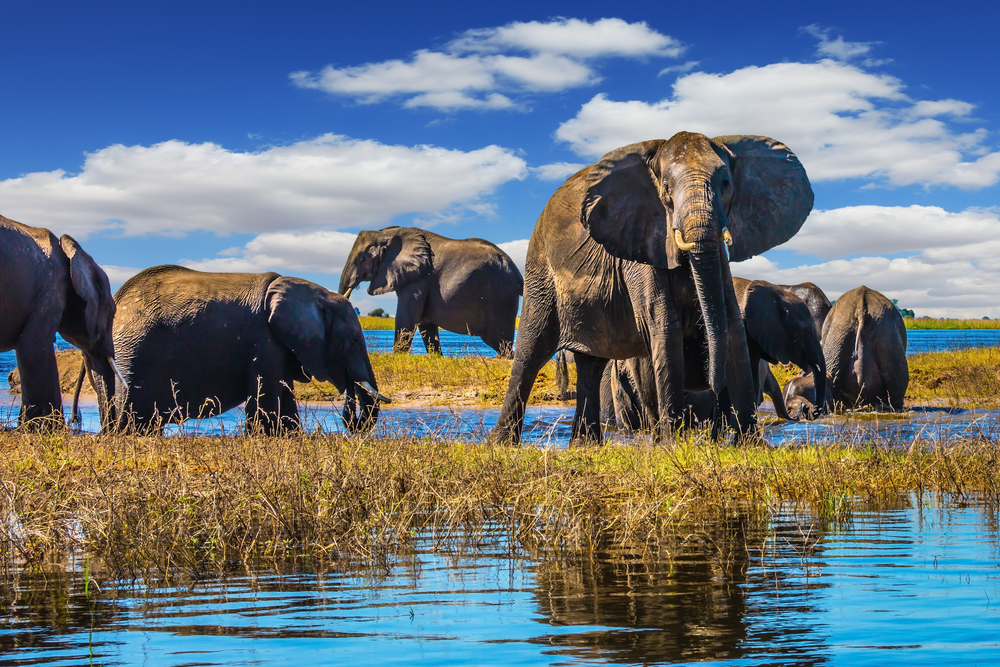 chobe river elephants.jpg