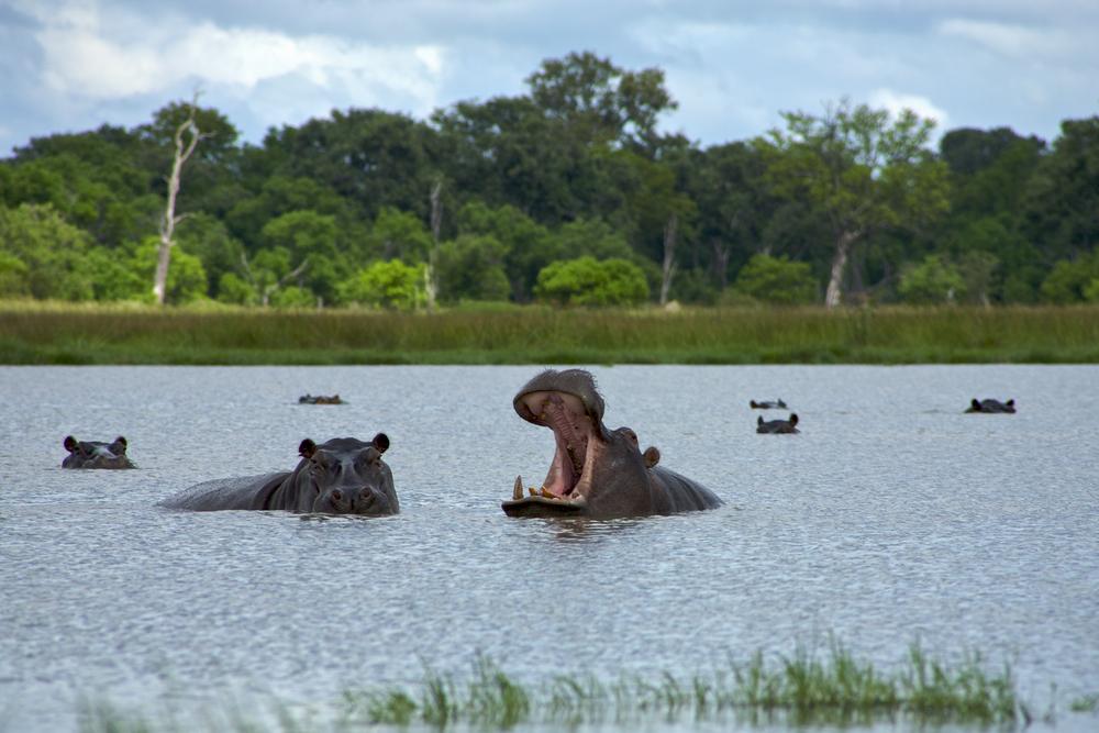chobe hippo.jpg