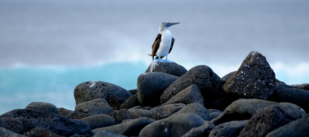 blue-footed boobies 2