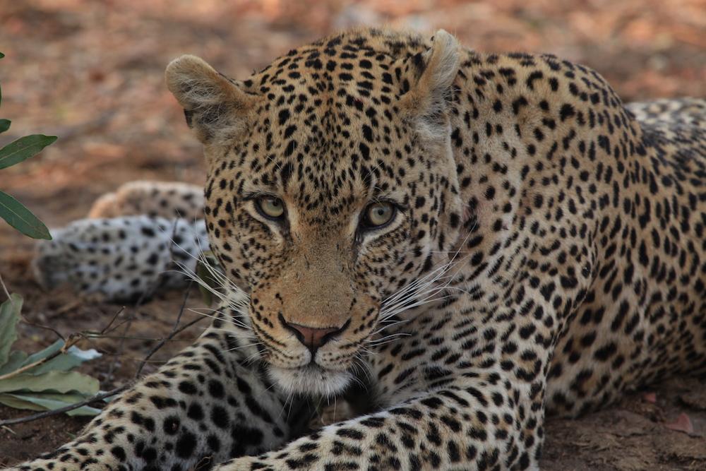 Leopard at Sabi Sabi- Lisa Christensen