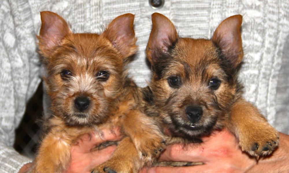 Northern california norwich terrier club