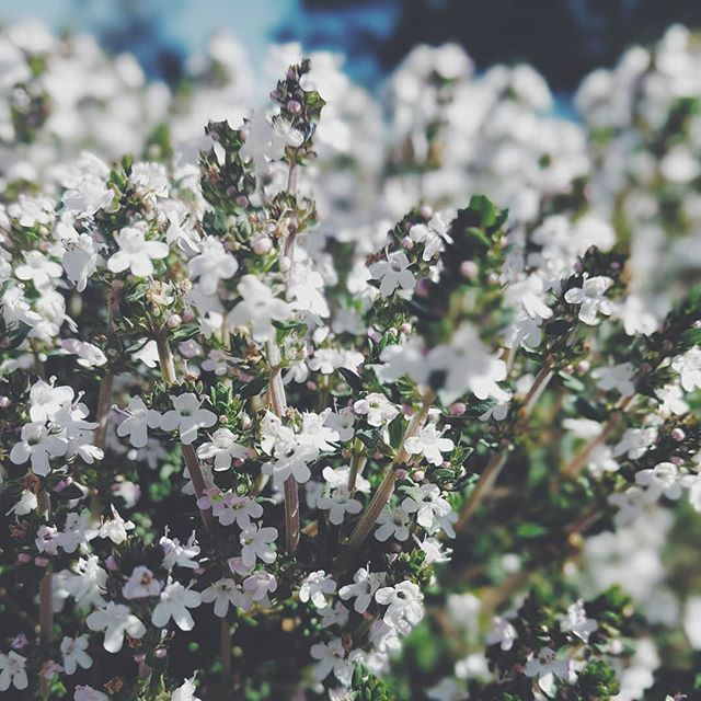 Trying to make the most of thyme. #spring #lifeandthyme #vsco #blackgirlswithgardens #flowers