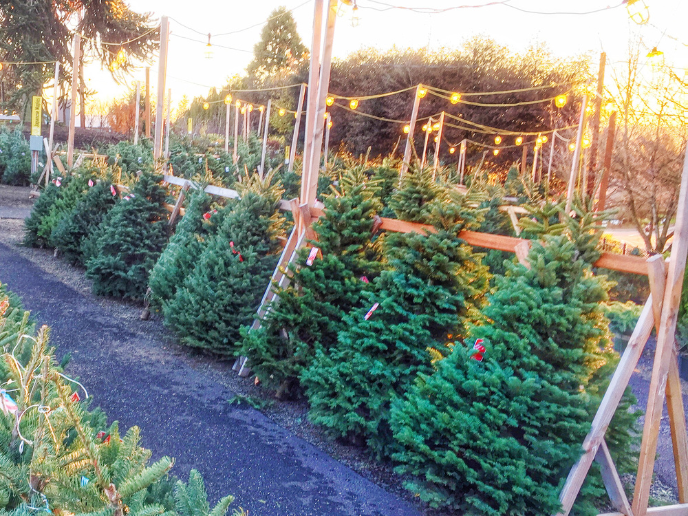 Christmas Trees at Cornell Farm.jpg