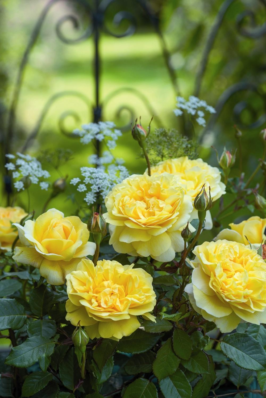 Rose The Poet's Wife.JPG