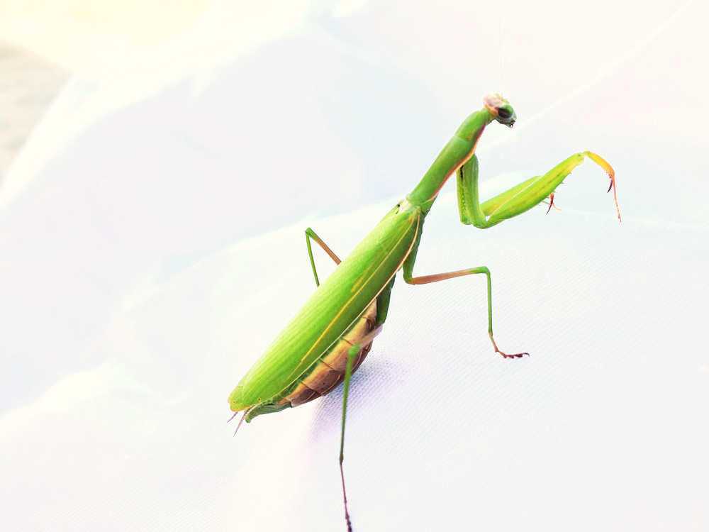 Praying Mantis at Cornell Farm.jpg