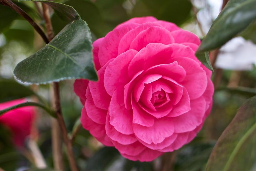 FloweringCamellia