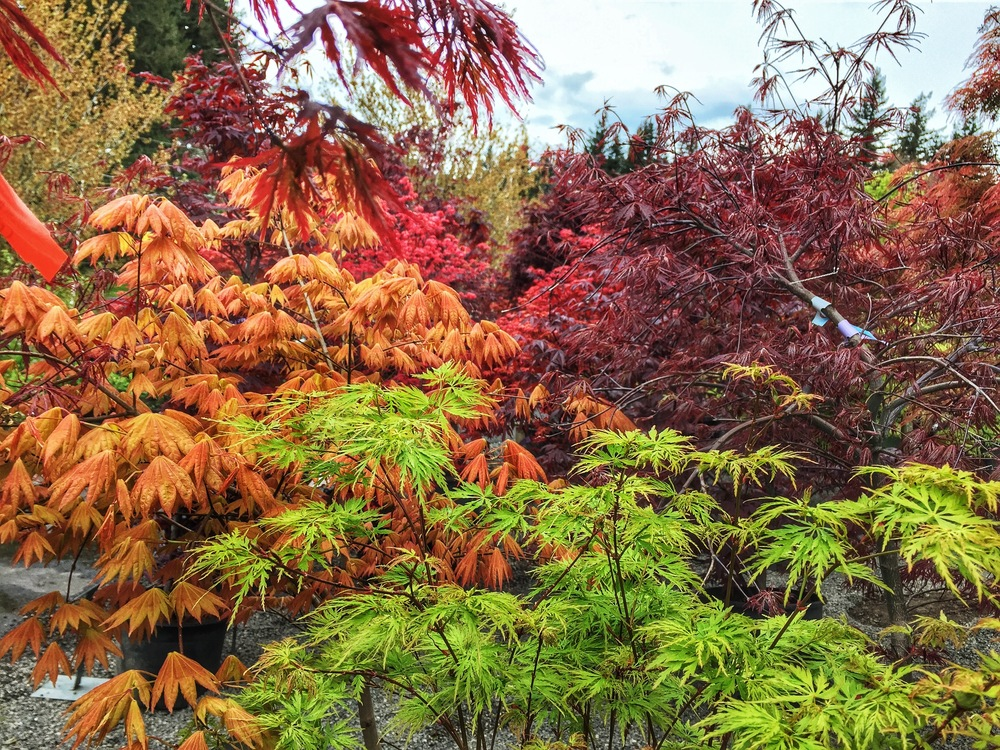 Japanese Maples in early autumn