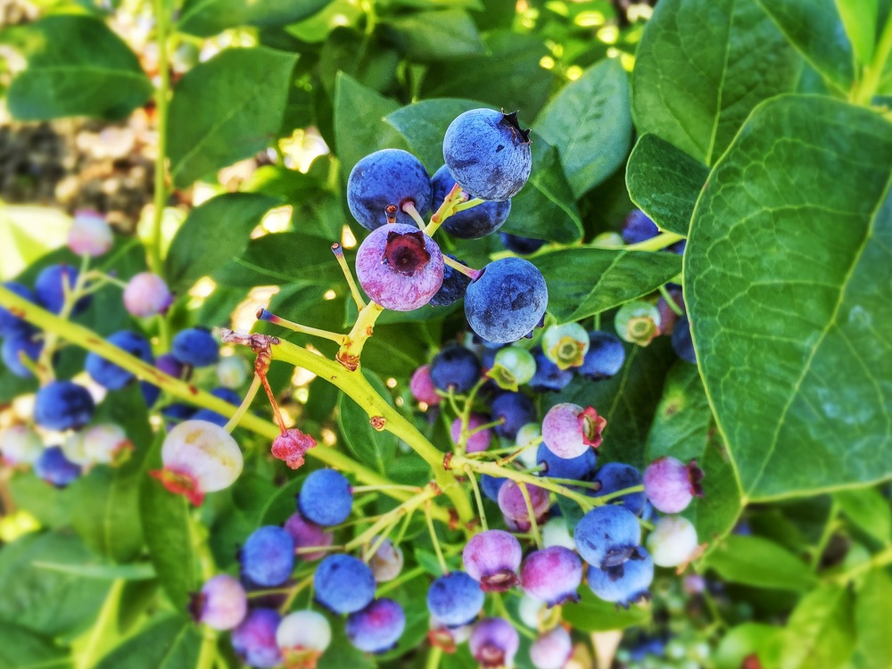 Wonderful Blueberries