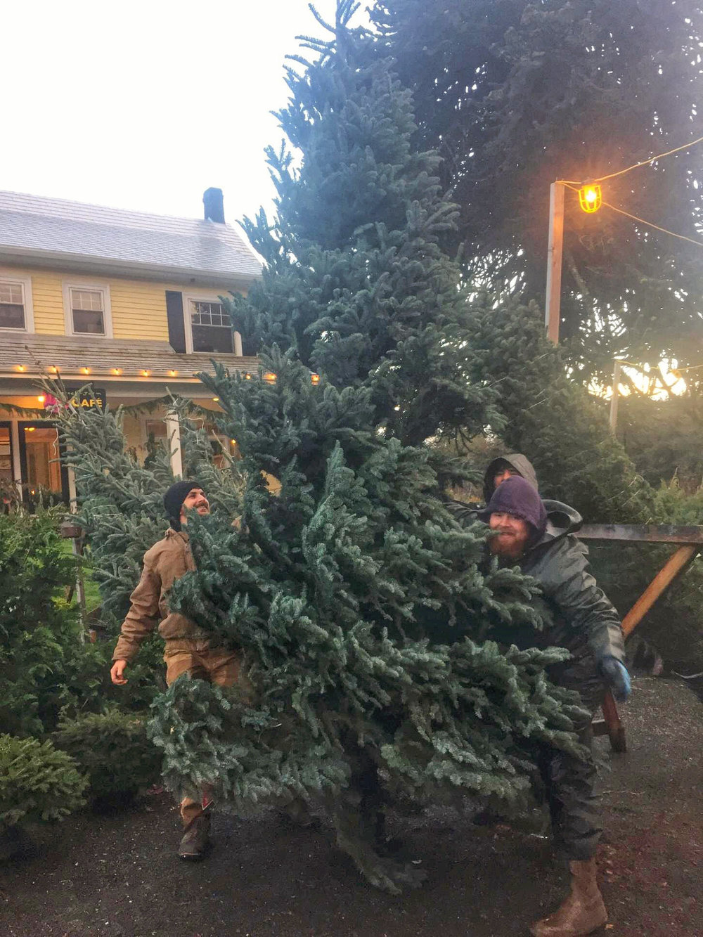 Huge Christmas Trees: we bring in Noble Firs up to 13 feet tall! We can either load it on or in your vehicle, or deliver and set it up in your home or office.