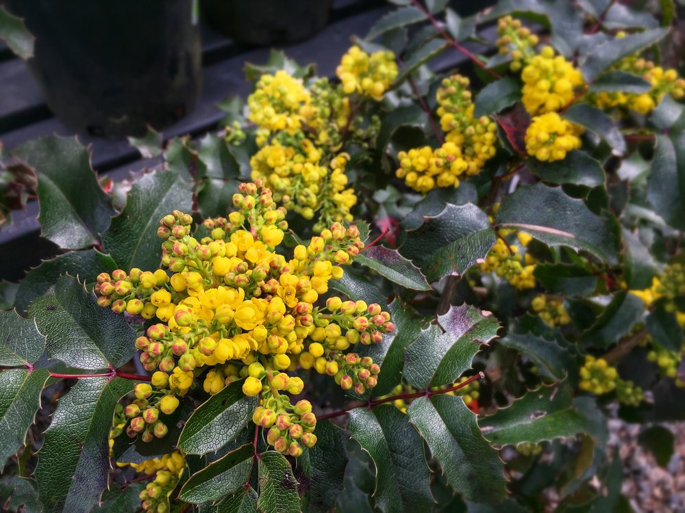 Oregon Grape Mahonia aquifolium