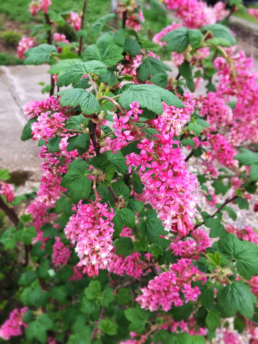 Red Flowering Currant Ribes sanguineum