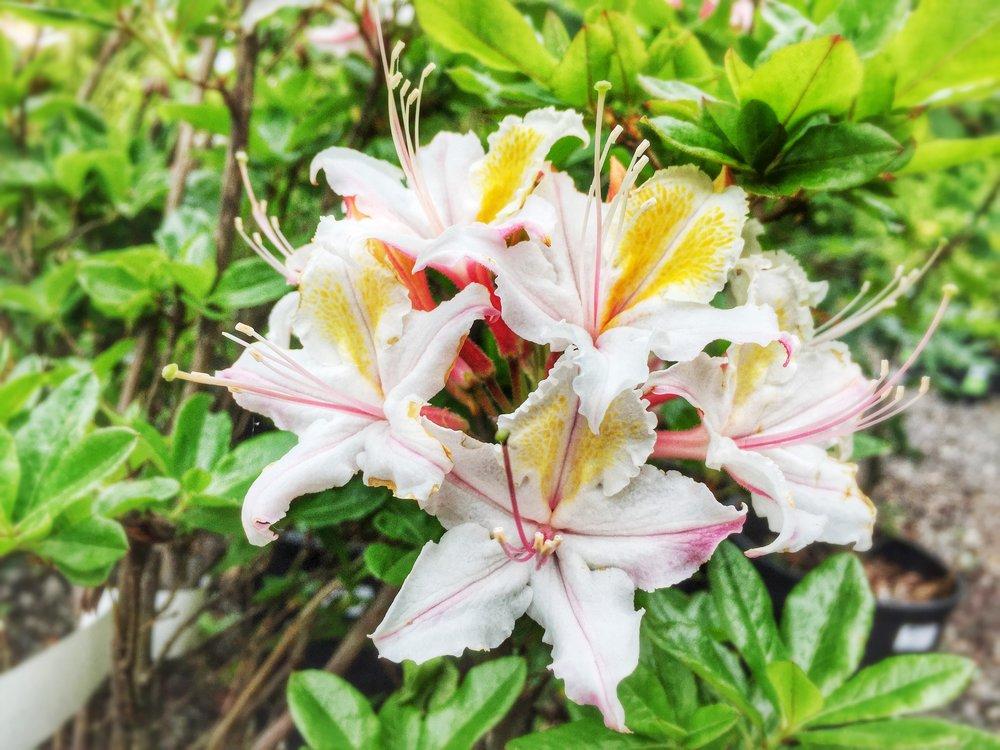 Western Azalea Rhododendron occidentale