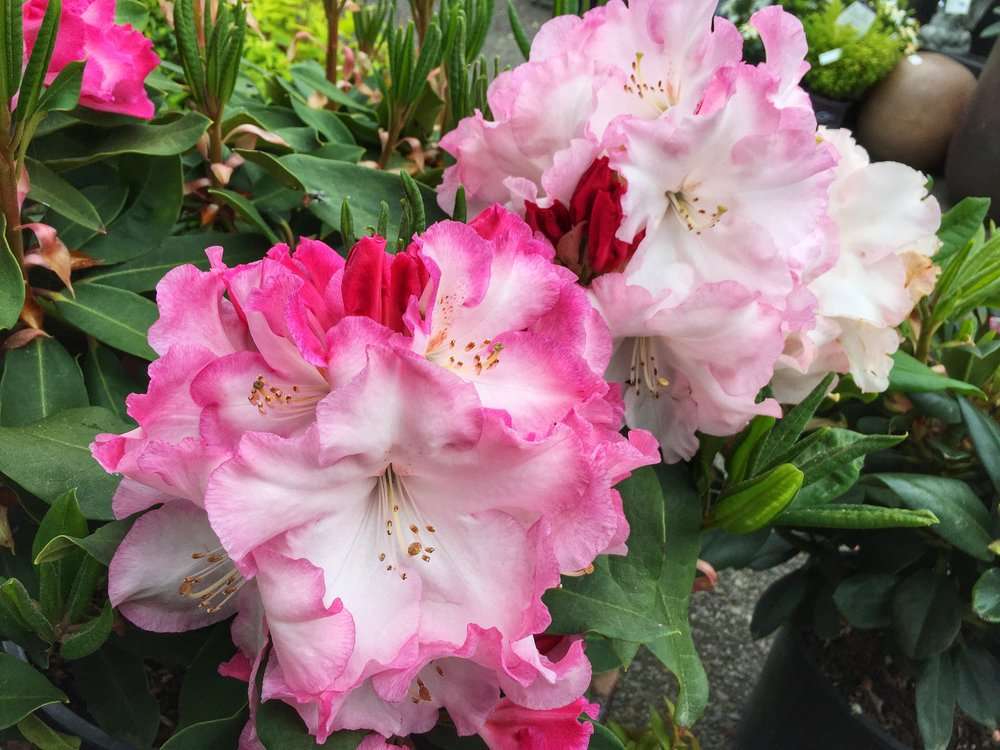 Red Walloper Rhododendron