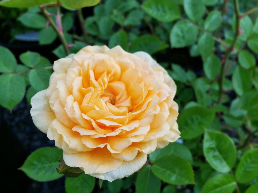 Edith's Darling Rose
